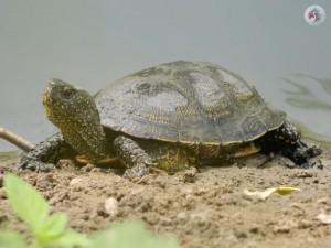 Болотная черепаха фотография Кашина А.А.
