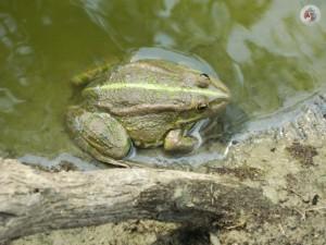 Озерная лягушка фотография Кашина А.А.