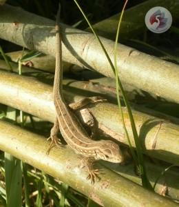 Самка прыткой ящерицы фотография Литвиновой Н.В.