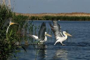 Кудрявые пеликаны. Фото Германа Русанова.