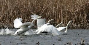Лебеди шипуны фото Г.М. Русанова