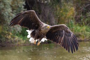 В дельте одна из самых многочисленных популяций орлана-белохвоста
