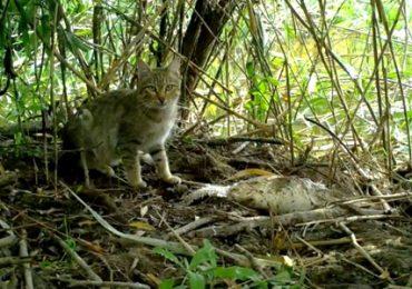 Какие кошки обитают в Астраханском заповеднике?