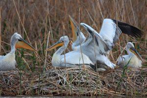 Кудрявые пеликаны образуют гнездовые колонии