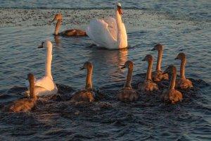 Лебединая семья (фото Ф.Лашков)