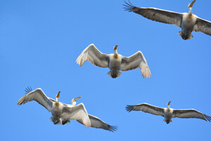 Кудрявые пеликаны в полете