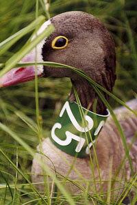 Кроме колец на лапках, птица может быть помечена специальным ошейником.