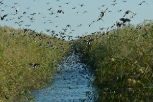 Скопление крякв в канале около рисовых чеков