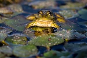 Озерная лягушка (Pelophylax ridibundus)