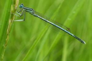 Стрелка голубая чашеносная (Enallagma cyathigerum)