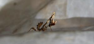 Богомол Эмпуза (Empusa pennata)