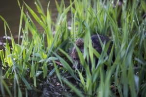 Водяная полевка (Arvicola terrestris)