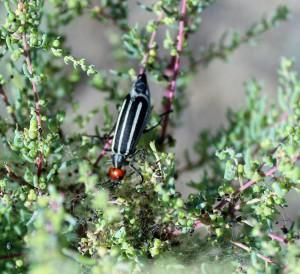 Шпанка красноголовая (Epicauta erythrocephala)