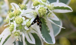 Лжепестрянка обыкновенная (Amata nigricornis)