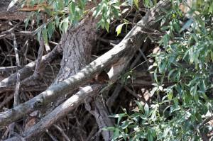 Ондатра (Ondatra zibethicus)