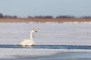 Лебедь-кликун(Cygnus cygnus).