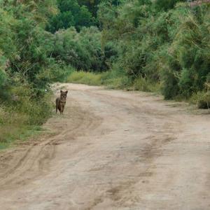 Шакал(Canis aureus).