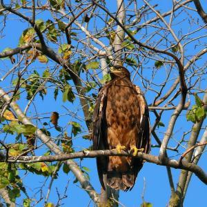 Степной орёл(Aquila nipalensis).