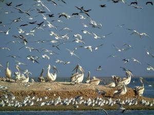 Кудрявые пеликаны(Pelecanus crispus).