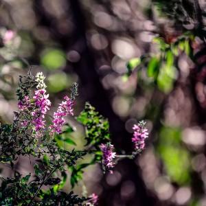 Дербенник иволистный (Lythrum salicaria)