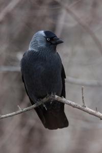 Галка (Coloeus monedula, syn. Corvus monedula).