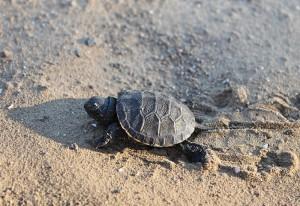 Европейская болотная черепаха (Emys orbicularis)