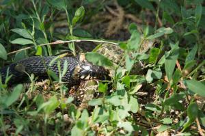 Обыкновенный уж (Natrix natrix) и лягушка озерная (Pelophylax ridibundus)