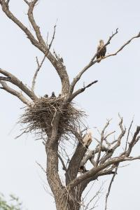 Орлан-белохвост (Haliaeetus albicilla) с выводком