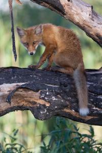 Обыкновенная лисица (Vulpes vulpes).