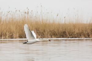 Лебедь-шипун (Cygnus olor).