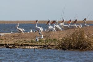 Пеликаны(Pelecanus).