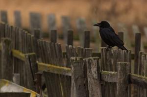 Грач(Corvus frugilegus).