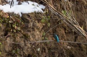 Обыкновенный зимородок (Alcedo atthis).