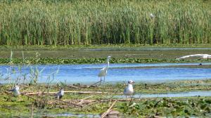Большая белая цапля (Ardea alba).