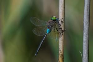 Стрекоза дозорщик-император (Anax imperator) поймала более мелкую стрекозу, стрелку красивую (Coenagrion pulchellum).
