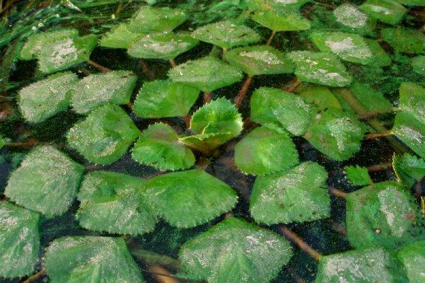 Чилим образует плотные заросли на поверхности водоема