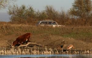 Стерх_чешется-корова-машина