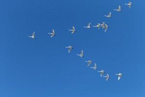 лебеди-летят