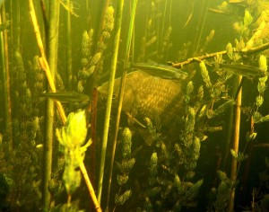 Карась в подводном лесу. Фото Кирилла Литвинова.
