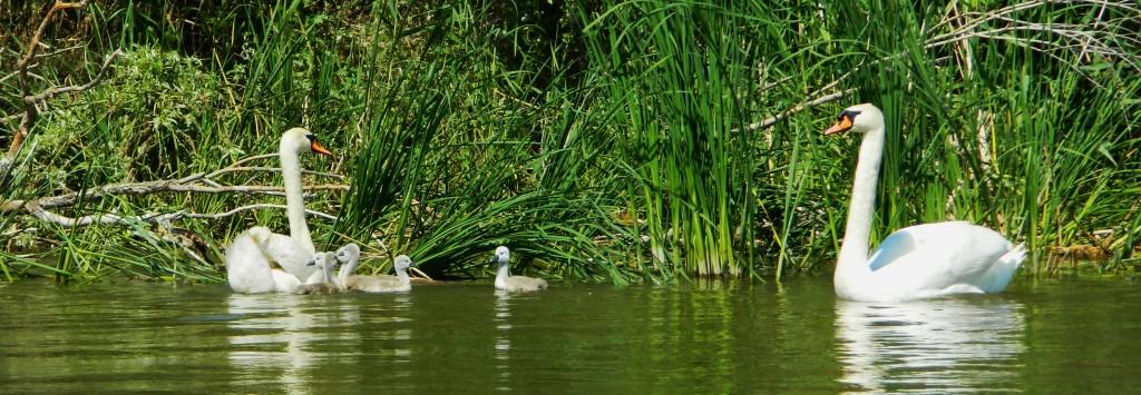 Лебединая семья. Фото: Кашин А.А.