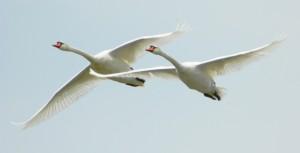 Лебеди образуют пары на всю жизнь. Фото: Кашин А.А.