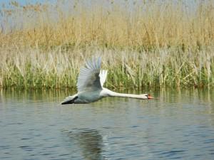 Лебедь-шипун. Фото Кашин А.А.