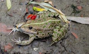 Лягушка ест ужа - невероятный факт!