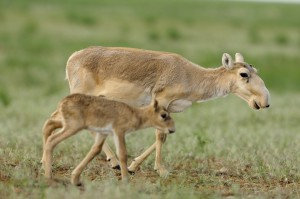Mission: Saiga Mother saiga and calf in the steppe in Cherniye Zemly (Black Earth) Nature Reserve, Kalmykia, Russia, May 2009 Saiga tatarica