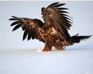 Орлан, разумеется, к млекопитающим не относится, но глядя на это фото можно подумать, что птица специально оставляет свои следы на снегу