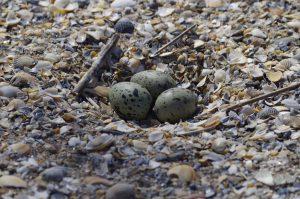 яйца хохотуньи