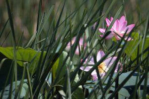 Лотос каспийский в зарослях рогоза