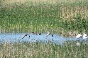 Самец лебедя-шипуна прогоняет серых гусей