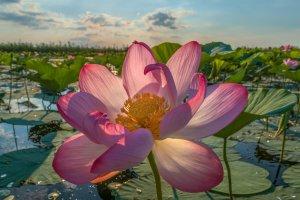 Цветок лотоса (фото Ф.Лашков).