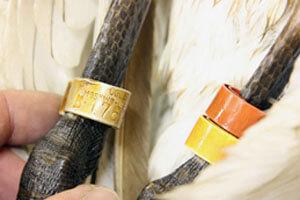 Цветные кольца (оранжевое, желтое) и стандартное металлическое кольцо. Обычно цветные кольца читают сначала на левой ноге, а потом на правой. Кольца читаются сверху вниз.
